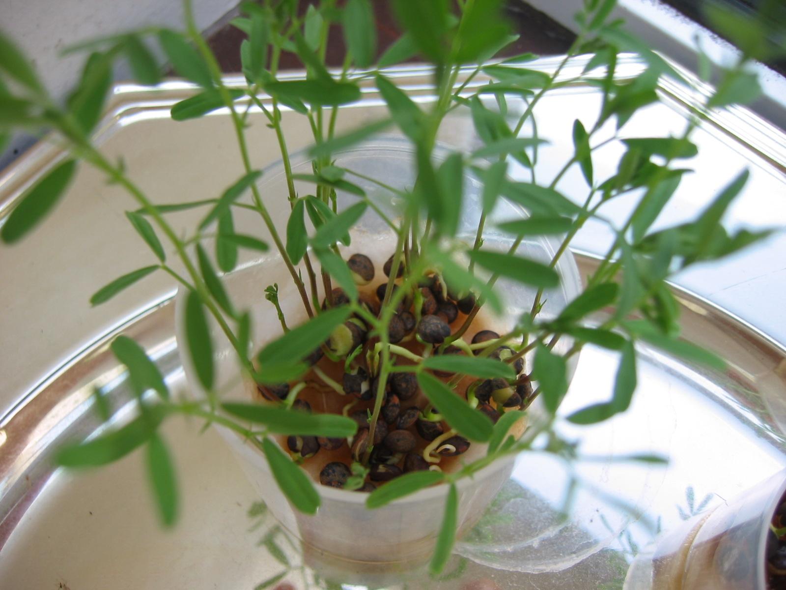 Mais comment elles grandissent les plantes - Comment cuisiner des lentilles vertes ...